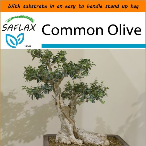 SAFLAX Garden in the Bag - Bonsai - Common Olive - Olea - 20 seeds
