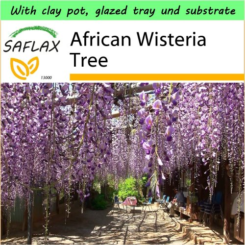SAFLAX Garden to Go - African Wisteria Tree - Bolusanthus - 10 seeds