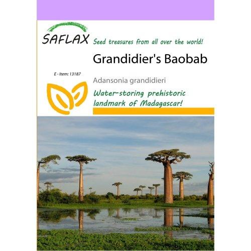 Saflax  - Grandidier's Baobab - Adansonia Grandidieri - 2 Seeds