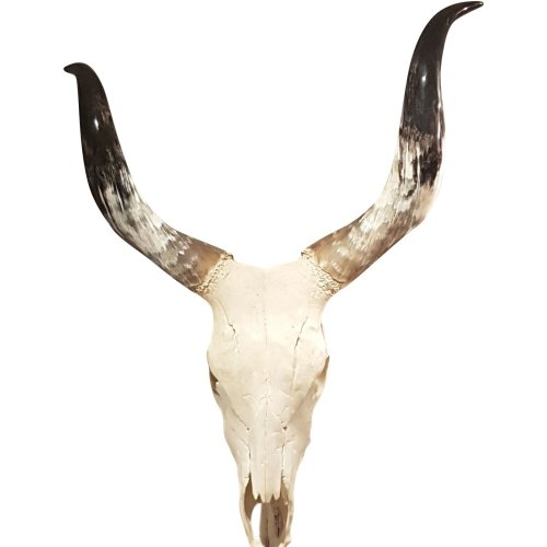 Libra Homestead Genuine Cow Skull Wall Mounted Polished Horns Decor Large