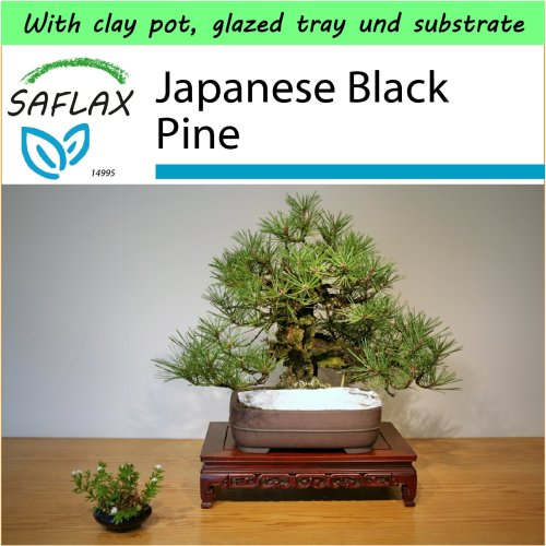 SAFLAX Garden to Go - Bonsai - Japanese Black Pine - Pinus - 30 seeds