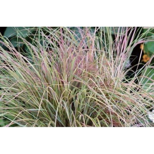 Grass - Anemanthele Sirocco - 10 Seeds