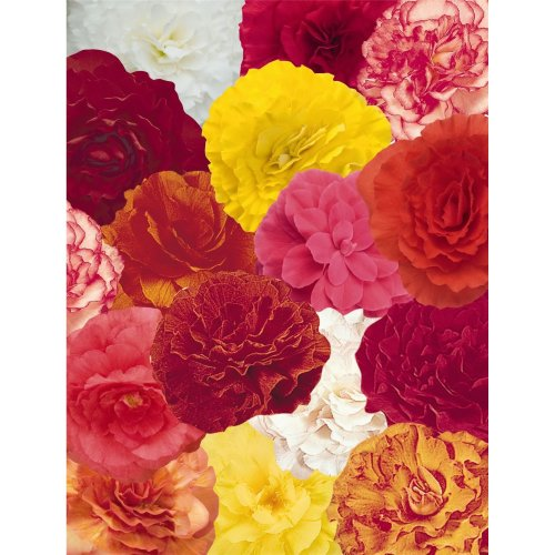 Flower - Begonia - Nonstop Mixed  F1 - 10 Seeds