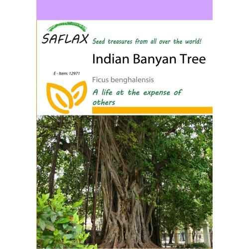 Saflax  - Indian Banyan Tree - Ficus Benghalensis - 20 Seeds
