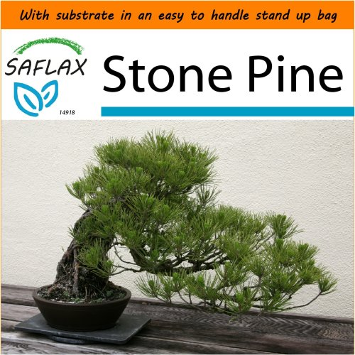 SAFLAX Garden in the Bag - Bonsai - Stone Pine - Pinus - 6 seeds