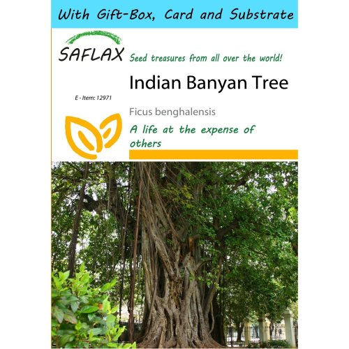 Saflax Gift Set - Indian Banyan Tree - Ficus Benghalensis - 20 Seeds - with Gift Box, Card, Label and Potting Substrate