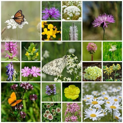 RP Seeds British Native Wildflower Seeds - Special Meadow Mix - 2g