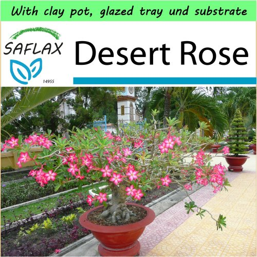SAFLAX Garden to Go - Bonsai - Desert Rose - Adenium - 8 seeds