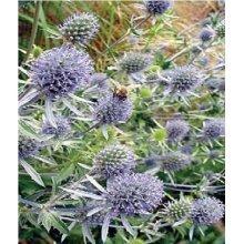 Flower - Eryngium Planum - Sea Holly - 100 Seeds